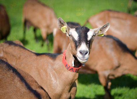 Les Chèvres de Noémie – Photographie